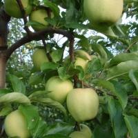 jabłka na drzewie zielone