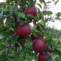 jabłka na drzewie czerwone