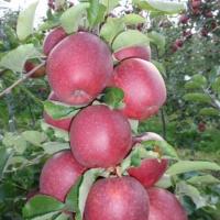 jabłka na drzewie czerwone 2